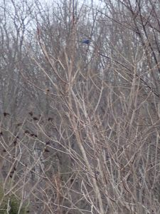 A very blurry picture of one of the male Eastern bluebirds.  It's hard to keep the camera steady when your hands are frozen!